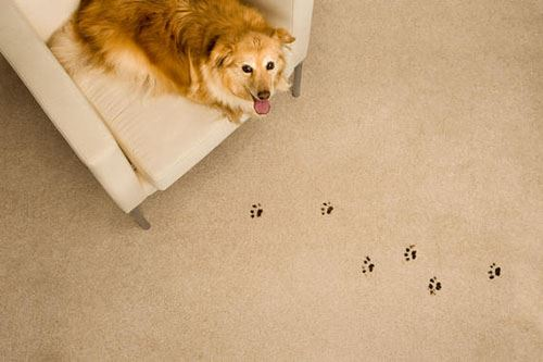 Dog Prints On Carpet Removal